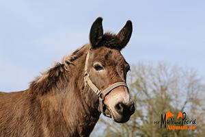 Ponymaultier Merle