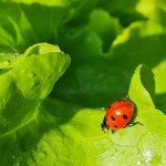 Marienkäfer im Salat