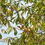 Grünfinkenfamilie